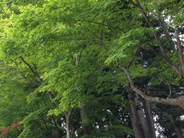 エネルギーに満ちた若葉色をみると、自然と元気がわくのであります。